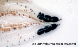 黒色色素に包まれた腕発光器被覆