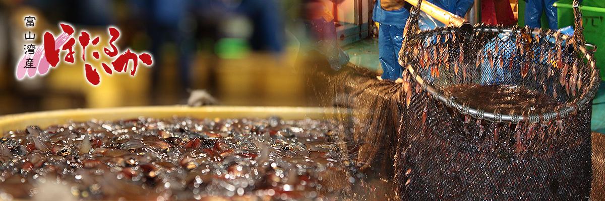 富山湾のホタルイカ漁